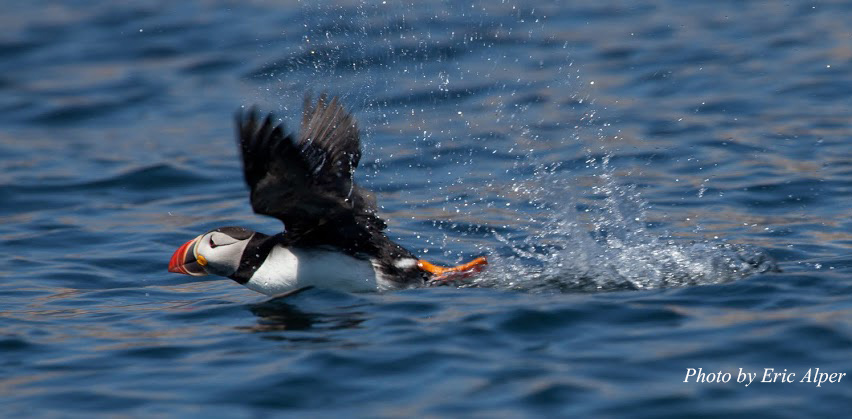 Puffin-flying